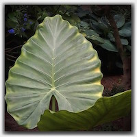 light leaf11263510_1429825227327400_577508163_n