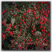 red berries 10948652_1405437089760178_1589414446_n