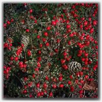 red berries 10948652_1405437089760178_1589414446_n